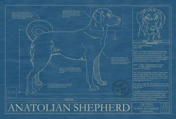 Anatolian Shepherd Dog Blueprint