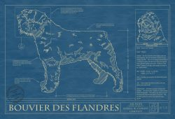 Bouvier Des Flandres Dog Blueprint