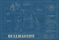 Bullmastiff Dog Blueprint