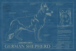 German Shepherd Longhaired Dog Blueprint