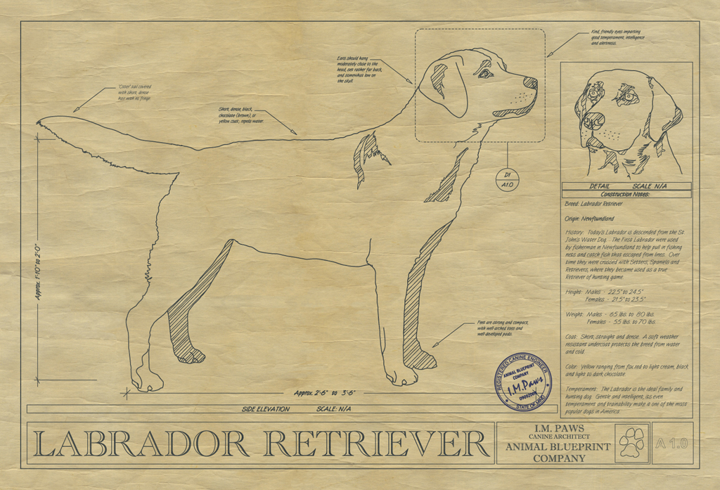 Labrador Retriever Dog Drawing