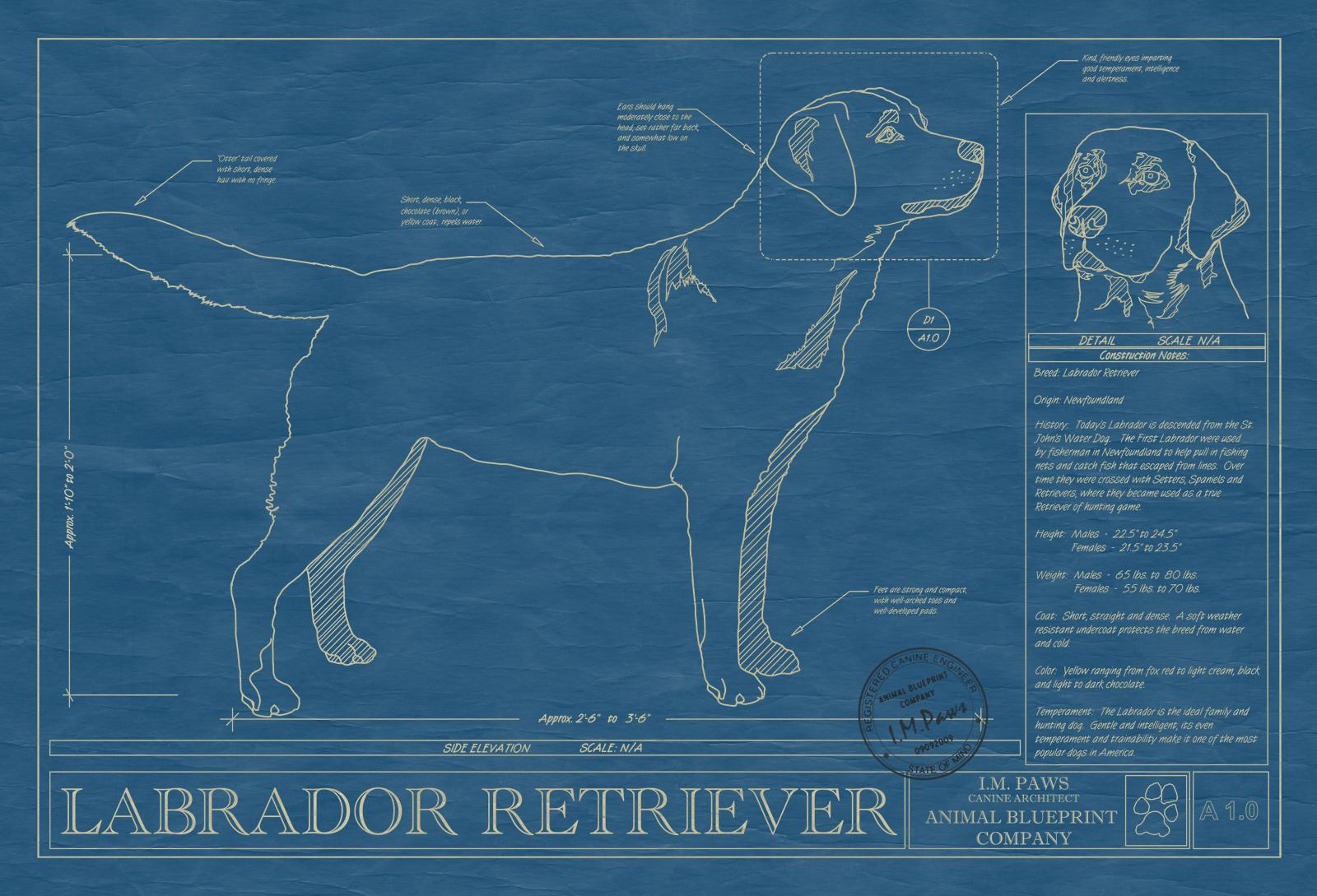 Labrador retriever animal blueprint company labrador retriever dog blueprint malvernweather Gallery
