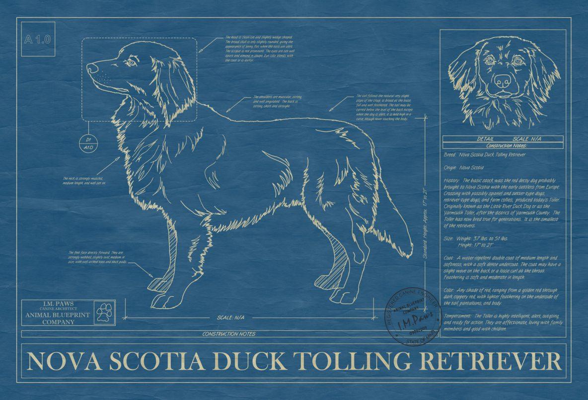 Nova Scotia Duck Tolling Retriever Dog Blueprint