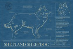 Shetland Sheepdog Dog Blueprint