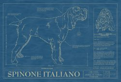 Spinone Italiano Dog Blueprint