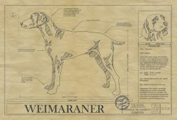 Weimaraner Dog Drawing