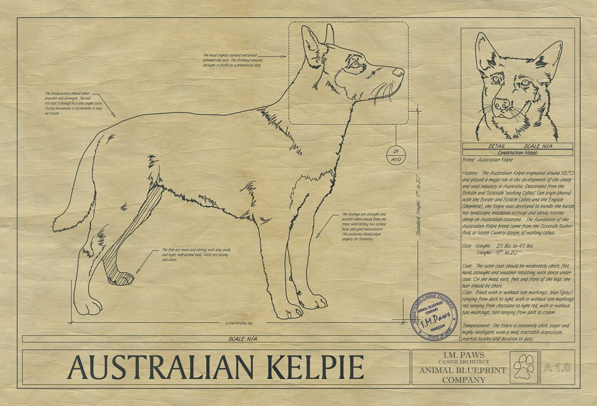 Australian cattle dog drawing animal blueprint company australian kelpie drawing malvernweather Images