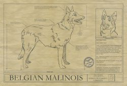 belgian_malinios_drawing