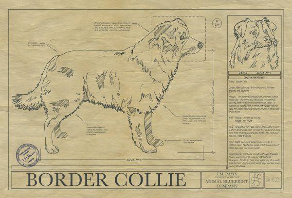 Border_collie